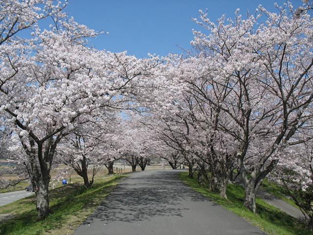 Cherry Blooming Forecast・桜前線