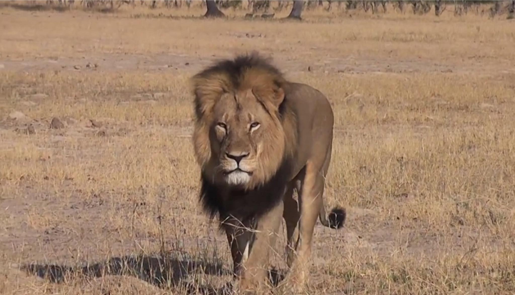 ジンバブエの人気ライオン「セシル」の殺害に激怒