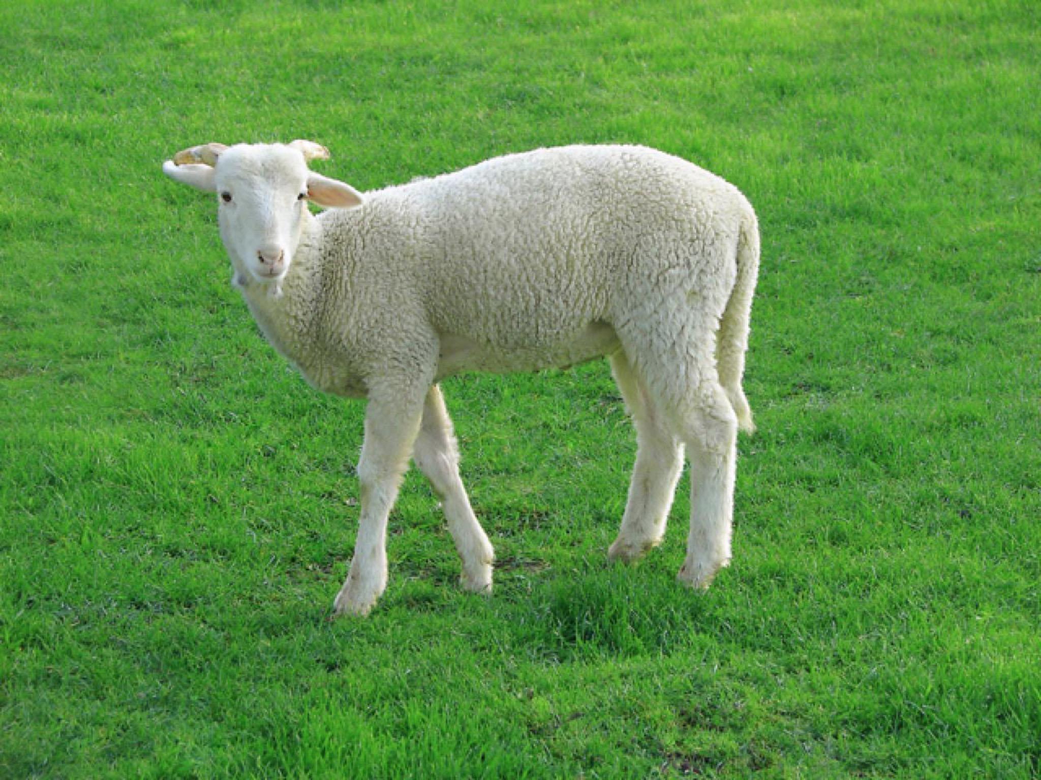 迷子になった羊のたとえ話・心に残る父母の思い出