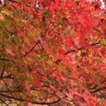 紅葉の人気スポット・Top Autumn Leaf Viewing Spots in Japan